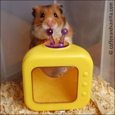 Syrian Hamster with his TV Toy