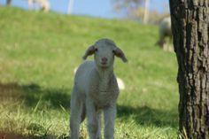 Little Darling❤ Little Darlings, Lamb, Animals, Animales, Animaux, Baby Lamb, Animal, Baby Sheep, Animais