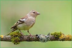 Photo about Female Chaffinch (Fringilla coelebs) on a twig. Image of chaffy, bird, marked - 25799145 Backyard Birds, Garden Birds, Chaffinch, Female Pictures, Bird Feathers, New Zealand, The Good Place, Wildlife, Zone 7