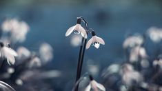 Wallpapers Tagged With Snowdrops Snowdrop Spring Nature Flowers Best Wallpapers Android, Hd Wallpaper Android, Wallpaper Iphone Cute, Live Wallpapers, Cool Wallpaper, Wallpaper Backgrounds, Phone Wallpapers, Latest Wallpapers, Red Flower Wallpaper
