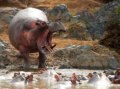 bossy hippo