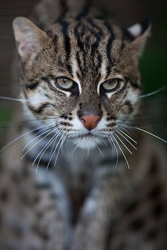 "bigcatkingdom: "" Fishing Cat (Prionailurus viverrinus) (by Borek Lupomesky) "" Beautiful Cats, Animals Beautiful, Beautiful Pictures, African Wild Cat, Rusty Spotted Cat, Black Footed Cat, Sand Cat, Cat Jokes, Leopard Cat"