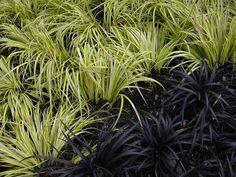 golden sedge (Acorus gramineus 'Ogon', zones 5 to 10) and black mondo grass (Ophiopogon planiscapus 'Nigrescens', zones 5 to 10).