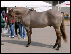 His color is a silver grulla (hey -- I see leg barring!) This is Kansas City Twister, a foundation Quarter Horse stud at High Point Farm.