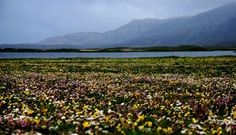 @TheRealBrianSmi: Flowers carpet the Machair sand dunes on South Uist, in their millions.#walkingtheworld