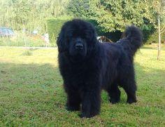 Dog - Newfoundland - Forest on www.yummypets.com
