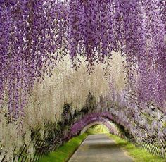 Arbor of Wisteria in alternating shades over a walkway