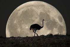 Ostrich/night photography