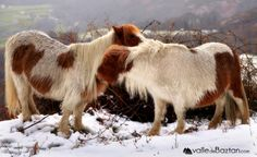 """2014-02-02 Pottokak Gorramendin.--- """"Pottokas"""" en el monte Gorramendi."""