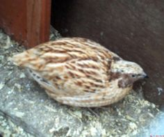 How To Hatch Quail In an Incubator