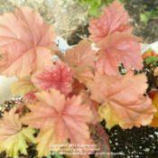 coral bells heuchera peach melba