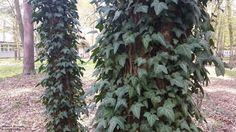 Czy bluszcz szkodzi drzewom?