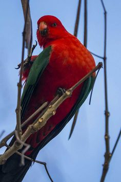 Beautiful photo of the King of Parrots (aka a King Parrot) for #WorldParrotDay - from top 100 QuestaGame player, Brian Rosenberg.