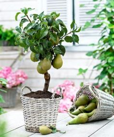 Dwarf Pear (Pyrus Communis 'Williams') is a compact pear tree. In spite of the diminutive height of this reliable dwarf pear, it gives crops of full size wonderful golden coloured bell-shaped fruits that are well-flavoured, sweet and very juicy. The tree can also be grown in a patio pot. The pears ripen in September-October.