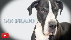 Gran Danes Compilado 😃 - YouTube Pitbulls, Pets, Animals, Delaware, Youtube, Board, Blog, Giant Dogs, Pet Products