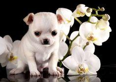 """""""Will you keep me company?""""... #Chihuahua cutie found on fundogpics.com"""