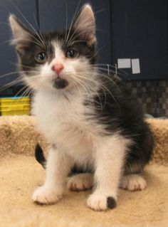 Screech - URGENT - CITY OF WICHITA FALLS ANIMAL SERVICES in Wichita Falls, TX - ADOPT OR FOSTER - Male Domestic SH KITTEN