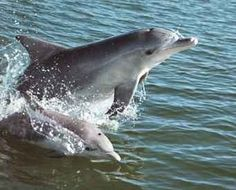 pictures dolphins - Google Search by SuretoShine
