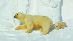 Polar #bear and her cub(s) - Mother Nature at it's finest.