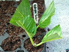 Garden Care Regrow Hydrangeas From Cutting-Hydrangea Propagation Tips How Buying Furniture Online Ca Hydrangea Shrub, Hydrangea Care, Hydrangea Not Blooming, Smooth Hydrangea, Container Gardening, Gardening Tips, Propagating Hydrangeas, Garden Care, Plantar