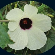 (Hibiscus cannabinus) This amazing plant can grow up to 18' in 150 days. I like to grow it for its cream-colored blooms that have a red center, but this crop is grown commercially for fiber used in making rope, paper, fabric, particle board and more. In Africa it is believed to have been grown 4000 years. The edible leaves are cooked and eaten. Beautiful palmate cut leaves that often look somewhat similar to marijuana, though not related