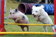 Schwein-Hund