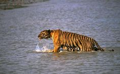 A Bengal tiger snatched a man off a fishing boat in eastern India, as Sushil Manjhi and kids were crab fishing, even though it's illegal in this protected reserve, Sunderbans National Park. India has more than half of the 3,200 tigers believed to be left in the wild in the world. Because of India's growth of 1.2 billion people, tiger habitats have been shrinking. The big cat's numbers have also dwindled because of rampant poaching to feed a flourishing market for tiger organs and bones in…