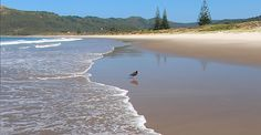 Great Barrier Island - New Zealand (Aotea) Medlands Ocean Beach and Oyster Catcher. White Sand Beach, Ocean Beach, Small Caravans, Auckland New Zealand, Forest Mountain, Crystal Clear Water, Catcher, Surfing, Boat