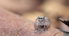 Scared of spiders? Well, this little guy will probably change your mind.