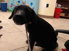 04/18/17-~~owner surrender - = no hold time required~~ HOUSTON-EXTREMELY URGENT -This DOG - ID#A481620 I am a female, black and white Labrador Retriever. My age is unknown. I have been at the shelter since Apr 18, 2017. This information was refreshed 43 m
