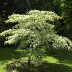 Buy Cornus controversa 'Variegata', wedding cake tree, online plants for sale, at Urban Jungle plant nursery via mail order. Trees And Shrubs, Trees To Plant, Wedding Cales, Shrubs For Sale, Plant Nursery, Plant Sale, Creamy White, Norfolk, Branches