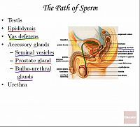 Male Reproductive System | Anatomy & Physiology | Educator.com
