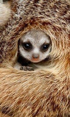 Oh so cosy and warm.. A Meerkat pup makes itself comfortable.