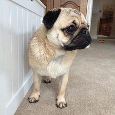 I'm all spiky after my bath!!!  #qtpugs #purepugspp #pug #pugs #pugsofinstagram #pugbasement #pugsproud_feature #badasspugclub #bubblebeccahat #cupcake_pug #dailydoseofpugs #eddthepug #flatnosedogsociety #gilesfriends #heyportiapickme #henrys1inamillion #itslolathepug #lolasfotw #lacyandpaws #mysquishyliciousfriends #puglife #speakpug #squishyfacecrew #thetomcoteshow #zerozeropug by alfiethepug_beat