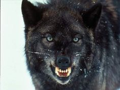 One wicked night in Portland Oregon I entered the Dire Wolf Core of the Exotic Chemical Breathing Machine Ceiling Sky God. The Dire Wolf . Facts About Wolves, All About Wolves, Wolf Photos, Wolf Pictures, Mon Zoo, Angry Wolf, Two Wolves, Black Wolves, Wolf Black