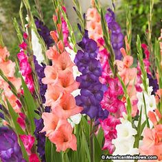 A striking Gladiolus combination of sunset colors, including peach, pink, purple and white. So easy to grow, glads produce huge blooms. Spring Flowering Bulbs, Spring Plants, Spring Bulbs, Spring Flowers, Flowers Garden, Gladiolus Bulbs, Gladiolus Flower, Landscaping With Rocks, Backyard Landscaping