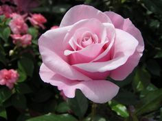 Our-Lady-of-Guadalupe-rose
