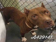 4/23/17 SAPA (SAN ANTONIO) TX!! CODE RED!!!! Mama & 3 Pups!!!!❣️PRINCESS-ID #A429141 -FEMALE-3-YEAR-+3-PUPS-STAFFIE MIX #PAST #DEADLINE #WE #NEED #A #COMMITMENT #BY #5P #THE #PET #PICKED #UpBY #630P #WED0419 #PLEASE EMAIL IF YOU CAN FOSTER, ADOPT OR RESCUE RIGHT AWAY! placement@sanantoniopetsalive.org EMAIL = = = = = = = = = = = = = = = = =❣️❣️❣️ Princess Is A Mother Of 3 Little Pups. She Is In Need Of A Quiet Place To Raise T