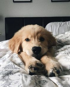 English Cocker Spaniel, Fashionable Golden Retriever, Labrador Retriever – … - Cats and Dogs House Cute Baby Dogs, Cute Dogs And Puppies, Pet Dogs, Pets, Doggies, Small Puppies, Perro Labrador Retriever, Retriever Puppy, Labrador Puppies