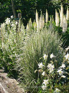 Staudebedet: Hvidstribet græs - Calamagrostis acutiflora 'Overd...