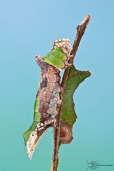 ˚Lace-capped Caterpillar - Oligocentria lignicolor