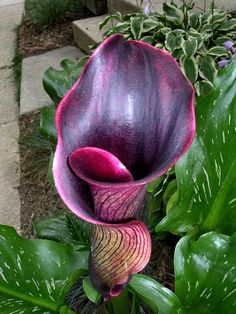 The dramatic Black Forest Calla Lily  7-13-04 Creepy! Looks like a tongue