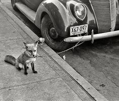October 1940. Moorhead, Minnesota. Fox chained to automobile.