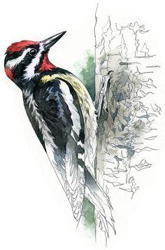 Rednaped Sapsucker watercolour bird wildlife by RobManciniImages