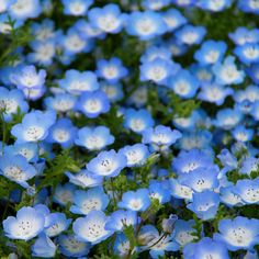 Baby Blue Eyes Seeds - Nemophila menziesii SeedBaby Blue Eyes are hardy annual flower seeds native to California, but will also grow prolifically throughout the rest of the United States. An extremely colorful wildflower that is also rather easy to grow, Baby Blue Eyes remains one of our favorite all-purpose wildflowers!
