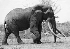 "Satao, an African Elephant killed by poachers.jpeg 30th May 2014 ""Killed by poachers so that someone can have a trinket for their mantelpiece"""