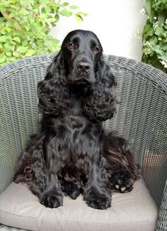 A list of the cutest black cocker spaniel pictures. Are you in the mood to see some adorable photos of black cocker spaniels? This is a list of some of the cutest black cocker spaniel photos. Perro Cocker Spaniel, Black Cocker Spaniel, American Cocker Spaniel, Spaniel Breeds, Dog Breeds, Pet Dogs, Dogs And Puppies, Doggies, Cockerspaniel