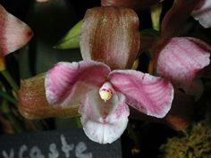 Lycaste Brevispatha | Orchid: Lycaste brevispatha [GNYOS - Greater New York International ...