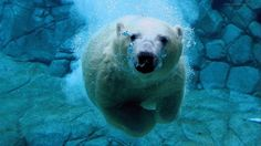 Polar bear wallpaper (1920x1080) - animaux - Biographies dartistes et de peintres célèbres, analyses doeuvres, mouvements artistiques pour votre brevet de lhistoire de lart. Peintures et photographies de Mik-Art