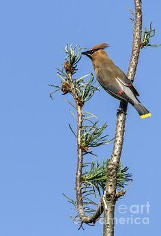 Cedar Waxwing on the Lookout - Belinda Greb #birdphotography #birds #naturephotography